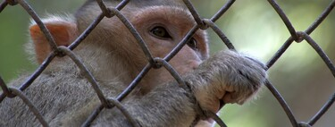 We don't just have a shortage of vaccines.  Also of monkeys in which to try them
